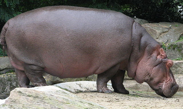 Hippos are the most dangerous animals on earth.